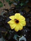 Vuelo de la abeja sobre una flor amarilla Foto de archivo