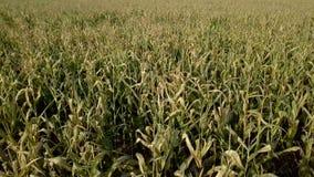 Vuelo de la cámara en campo de maíz dañado almacen de metraje de vídeo