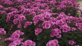 Vuelo de la cámara de la cámara lenta sobre el campo de cerca de crecer las flores púrpuras almacen de metraje de vídeo