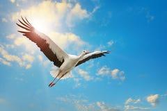 Vuelo de la cigüeña blanca en cielo en el fondo del sol Foto de archivo