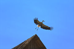 Vuelo de la cigüeña en fondo del cielo azul imagen de archivo libre de regalías