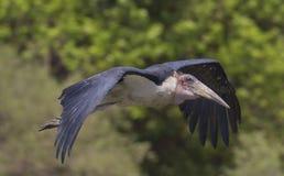 Vuelo de la cigüeña de marabú Imagen de archivo
