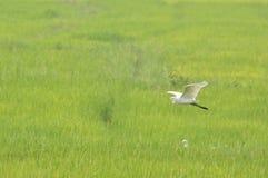Vuelo de la garceta en el campo de arroz fotografía de archivo libre de regalías