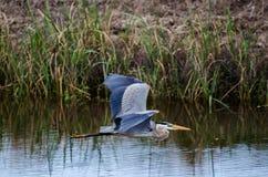 Vuelo de la garza de gran azul, Savannah National Wildlife Refuge Fotos de archivo