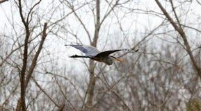Vuelo de la garza de gran azul en Michigan durante la primavera, pájaro salvaje del lago único asombroso Fotografía de archivo