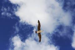 Vuelo de la gaviota Fotografía de archivo libre de regalías