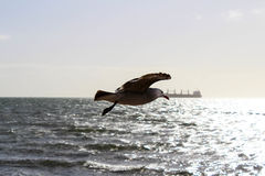 Vuelo de la gaviota Imagen de archivo