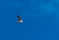 Vuelo de la gaviota con el cielo azul y algunas nubes imagen de archivo