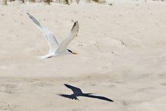 Vuelo de la gaviota con la sombra en la playa Fotografía de archivo