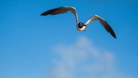 Vuelo de la gaviota con un fondo del cielo azul Imágenes de archivo libres de regalías