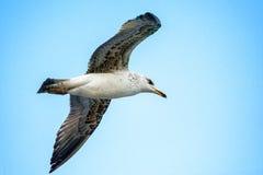 Vuelo de la gaviota debajo del cielo azul Imagen de archivo libre de regalías