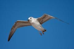 Vuelo de la gaviota del pájaro Fotografía de archivo libre de regalías