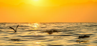 Vuelo de la gaviota del quelpo (dominicanus del Larus) en fondo del océano de la puesta del sol Fotos de archivo