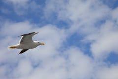 Vuelo de la gaviota en cielo azul Fotos de archivo