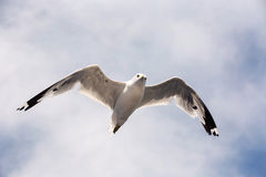 Vuelo de la gaviota en el cielo Imagenes de archivo
