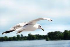 Vuelo de la gaviota en el cielo Imagen de archivo libre de regalías