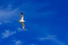 Vuelo de la gaviota en el cielo Fotografía de archivo libre de regalías