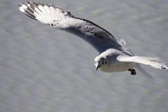 Vuelo de la gaviota en Laguna Hedionda Imagen de archivo libre de regalías