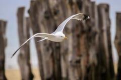 Vuelo de la gaviota en la playa foto de archivo libre de regalías