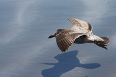 Vuelo de la gaviota inferior Foto de archivo libre de regalías