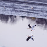 Vuelo de la gaviota sobre el agua Foto de archivo libre de regalías