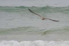 Vuelo de la gaviota sobre el mar Fotos de archivo