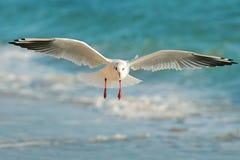Vuelo de la gaviota sobre el mar Foto de archivo libre de regalías