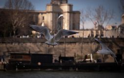 Vuelo de la gaviota sobre el río Sena en París Francia imagen de archivo