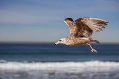 Vuelo de la gaviota y griterío en la playa del hermosa Fotografía de archivo