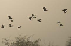 Vuelo de la madrugada de patos sobre pantano de niebla Foto de archivo libre de regalías