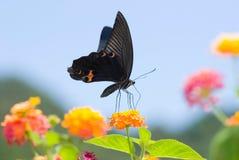 Vuelo de la mariposa de Swallowtail bajo el cielo azul Imagen de archivo libre de regalías
