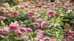 Vuelo de la mariposa en la cámara lenta en las flores metrajes
