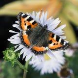 Vuelo de la mariposa en la flor de la maravilla Foto de archivo