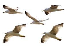 Vuelo de las gaviotas aislado en el fondo blanco imágenes de archivo libres de regalías