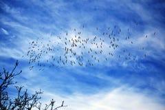 Vuelo de los pelícanos blancos contra el cielo azul brillante Foto de archivo