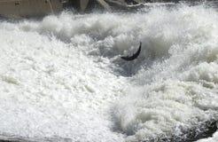 Vuelo de los pescados Imagen de archivo