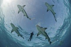 Vuelo de los tiburones de limón Imagen de archivo libre de regalías