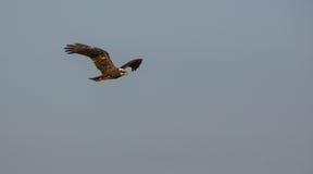 Vuelo de Marsh Harrier fotografía de archivo libre de regalías