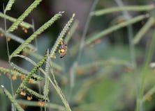 Vuelo de Mellifera de los Apis de la abeja para coger el polen de la hierba de Brachiaria en el ggarden al aire libre Fotografía de archivo libre de regalías