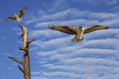 Vuelo de Osprey en un cielo nublado hermoso Foto de archivo
