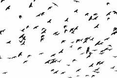 Vuelo de pájaros negros en un fondo blanco Imagen de archivo libre de regalías