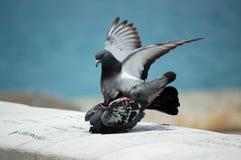 vuelo de 2 palomas Fotografía de archivo