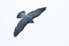 Vuelo de Peregrine Falcon Ave rapaz con las alas de la mosca Fondo del cielo de la luz blanca Escena en el hábitat del árbol de l Fotos de archivo