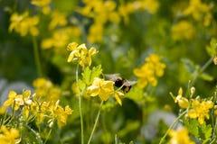 Vuelo de un abejorro Fotografía de archivo