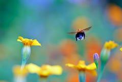 Vuelo de una abeja del manosear Fotos de archivo
