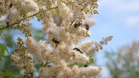 Vuelo de una abeja en la cámara lenta de las flores Las abejas vuelan adentro en las flores blancas y recogen el n?ctar diversos