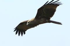 Vuelo del águila Fotografía de archivo