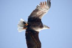 Vuelo del águila calva Fotografía de archivo libre de regalías