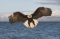 Vuelo del águila hacia espectador Foto de archivo libre de regalías