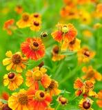 Vuelo del abejorro Imagenes de archivo
